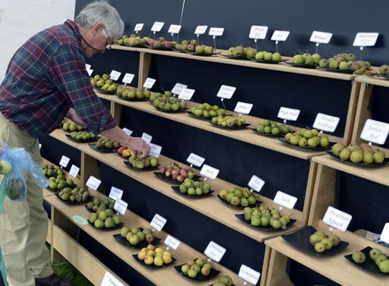 Jim Chapman setting up a display of Perry Pears from the National Collection